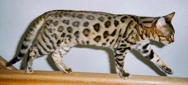 Gato de bengala. Bengal