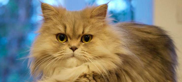 Persa. Raça de gatos