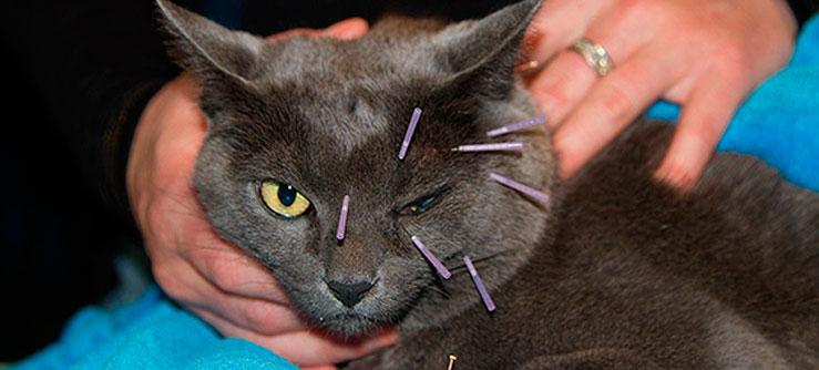 Acupuntura para gatos