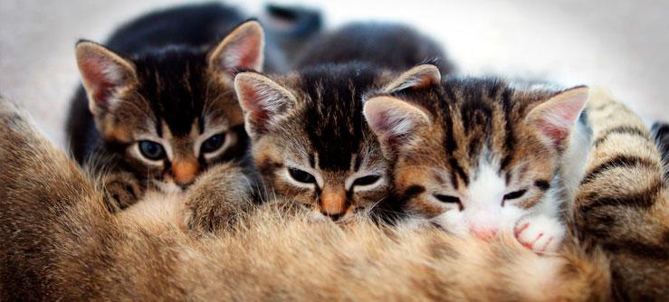 Amamentação dos gatos - amamentando