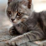 Como distrair os gatos