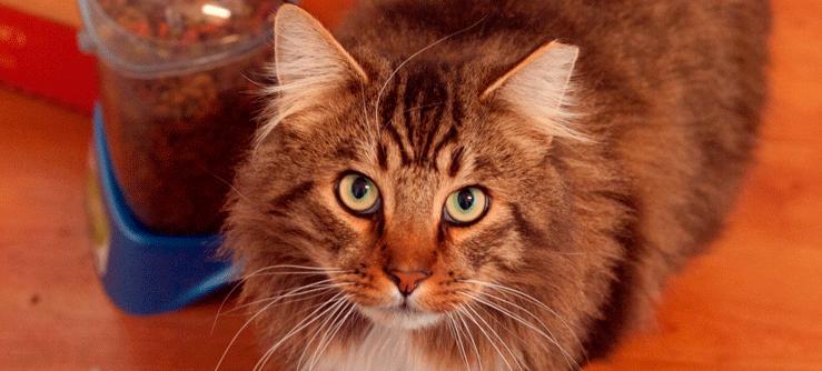 Ensinando o seu gato: adestramento