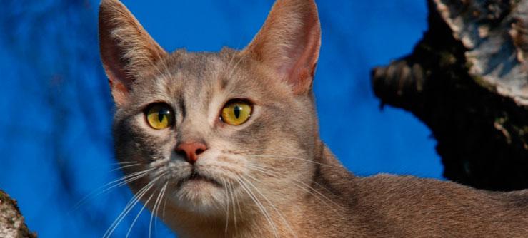 O Abissínio tem olhos grandes de cor amendoada