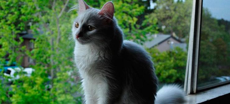 Angorá Turco é afetuoso, alegre e gosta de mimos.