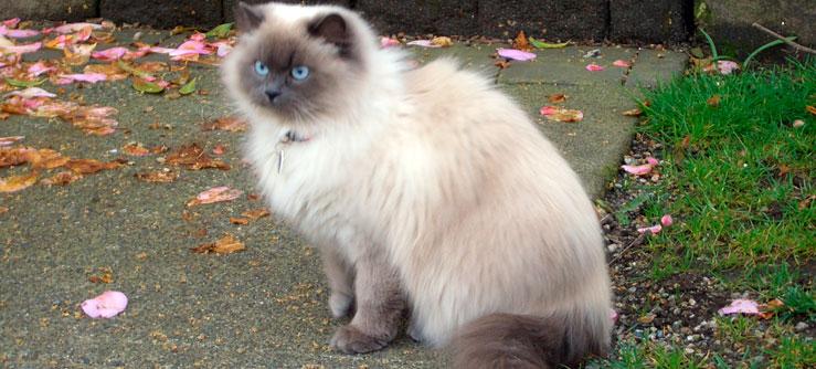 Himalaio gato