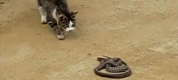 Cobra x Gato
