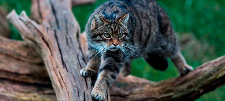 Novas pistas da domesticação dos gatos
