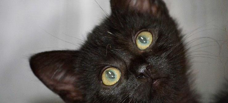 Fotos de gato preto. Fotos de gato preto filhote