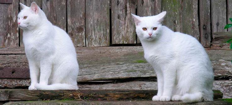 Gato Sem raça definida (SRD)