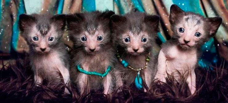 Lycoi - O maior evento felino da América Latina